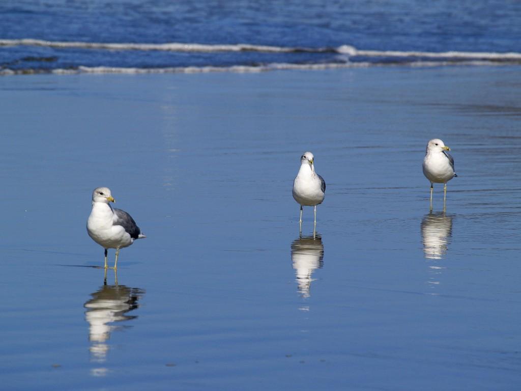 seagulls-51019